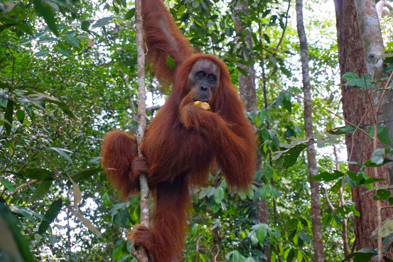 Orang-Oetans spotten in Bukit Lawang, Sumatra